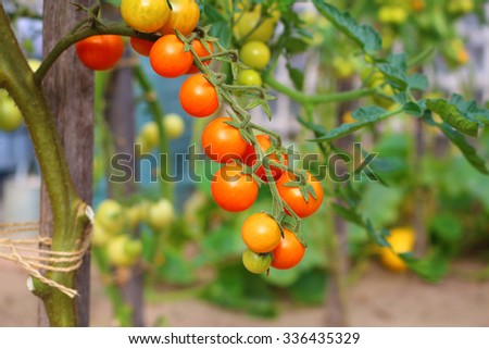 Tomatoes on home garden. - stock photo