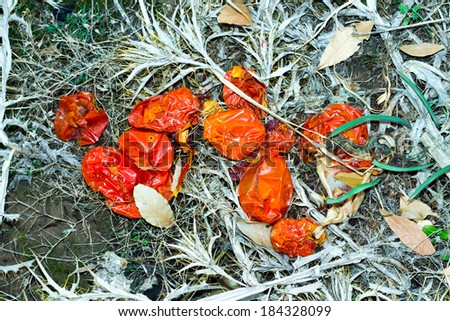 tomatoes on the trash - stock photo