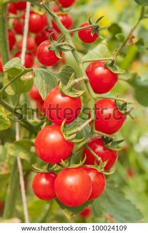 Tomatoes on the vine - stock photo