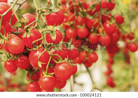Tomatoes on the vine - stock photo