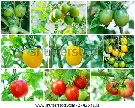 Tomatoes plant. Set of Tomatoes growing (green, yellow, red) - stock photo