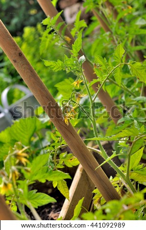 tomatoes plants on wooden stick in garden  - stock photo