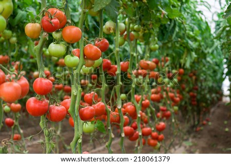 Tomatoes ripening in a greenhouse, Ukraine  - stock photo