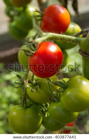 Tomatoes ripening on the vine in a sunny glasshouse.