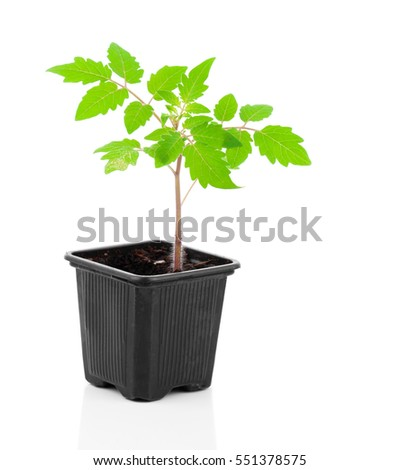 tomatoes seedlings in a pot, on white background