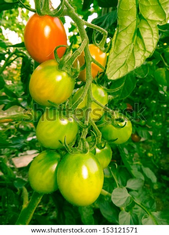 Tomatoes that are ripening  - stock photo