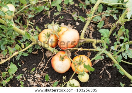 tomatos damaged by tomato rot and drought - stock photo