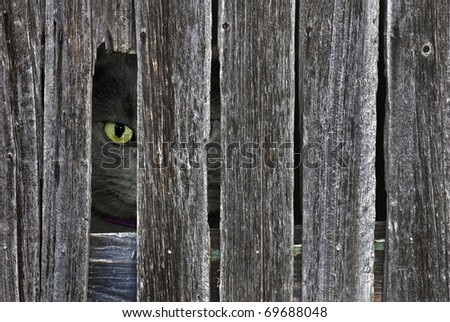 tomcat peeking though opening in barn siding - stock photo