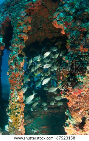 "Tomtate Grunts congregating inside an artificial reef.  Artificial reef was made by sinking an old United States Coast Guard Cutter. Name of the artificial reef is the ""ancient mariner"". - stock photo"
