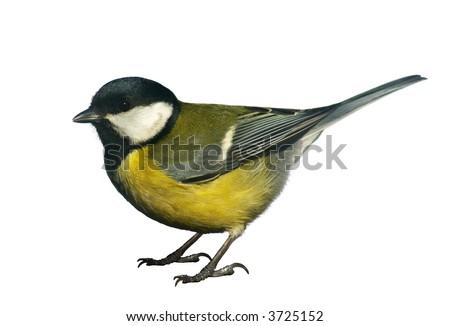 Tomtit bird, isolated on white background - stock photo