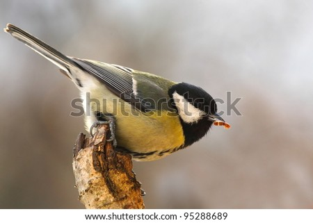 Tomtit (Parus major) with prey - stock photo