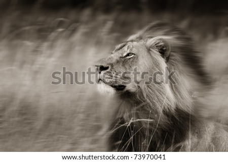 Toned image of a African lion in the wind