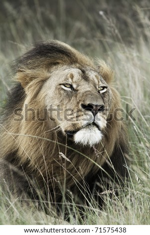 Toned image of a regal looking lion.