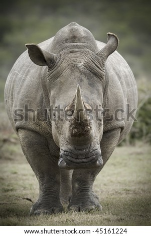 Toned image of a white rhinoceros - stock photo