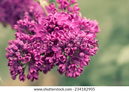 Toned image of lilacs in bloom. - stock photo