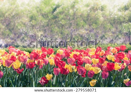 Toned image of multicolored tulips in full bloom with copy space. - stock photo