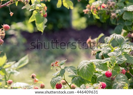 Toned image of raspberry bushes with copy space in the center..