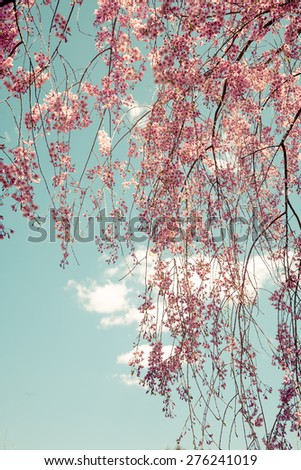 Toned image of weeping cherry tree branches. - stock photo