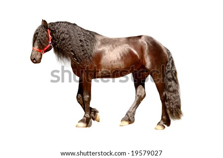 Toned isolated friesian horse