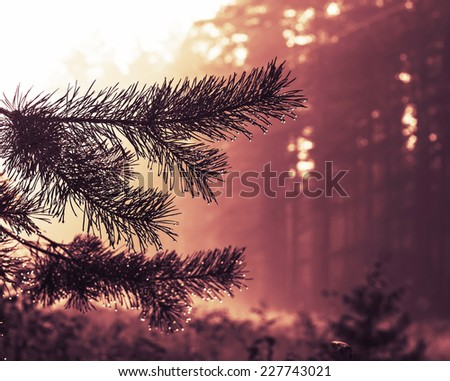Toned orange sunset and fir branch - stock photo