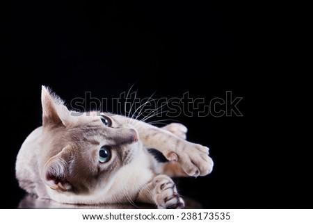Tonkinese cat, portrait beautiful cat on a black background - stock photo