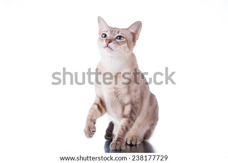 Tonkinese  cat, portrait beautiful cat on a white background - stock photo