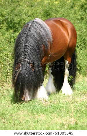 tons of hair - Irish Cob - stock photo