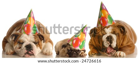 too much party - two english bulldogs and a pug wearing birthday hats - stock photo