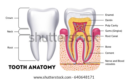 Oral Cavity Stock Images, Royalty-Free Images & Vectors ...