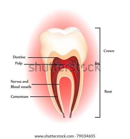 Tooth anatomy. Detailed diagram. Beautiful bright colors - stock photo