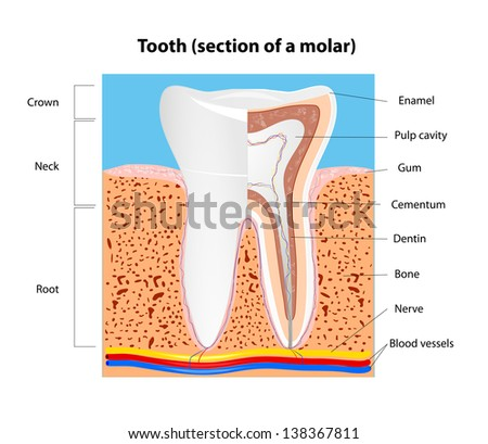 Tooth anatomy. Section of a human molar.  scheme - stock photo
