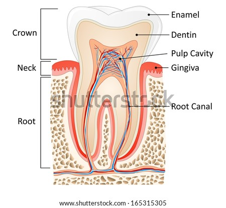 tooth medical anatomy with words - stock photo