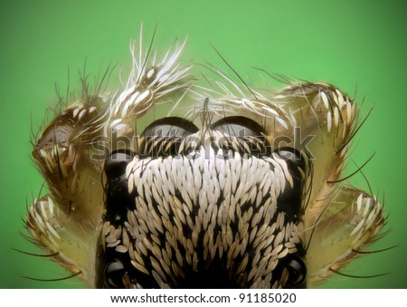 Top down or dorsal view of a juvenile zebra jumping spider - stock photo