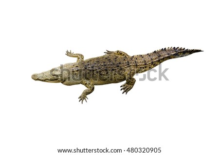 Top of crocodile isolated on white background