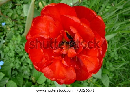 Top of Single Red Tulip Flower - stock photo