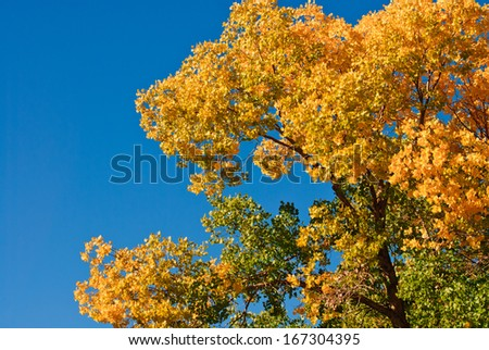 top tree of populous in autumn, Inner-Mongolia, China - stock photo