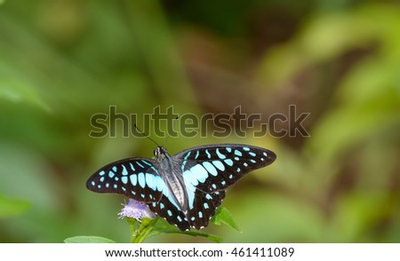 top view Common Jay (Graphium doson) butterfly on purple flower