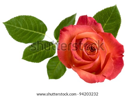 Top view of a beautiful red rose with leaves, isolated studio shot - stock photo