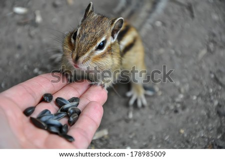 Top view of a chipmunk, who stands leaning on hand with seeds. - stock photo