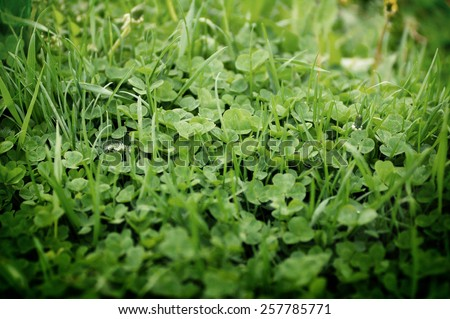 top view of a expanse of three-leaf clovers of different height and dimensions - stock photo
