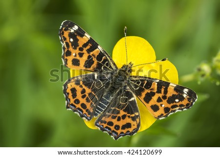 Top view of a map butterfly (Araschnia levana) resting on a yellow buttercup flower. This butterfly is a Spring season generation in Spring brood outfit. - stock photo
