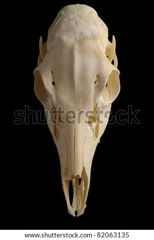 Top view of a Texas Whitetail  Deer (Odocoileus virginianus) Skull against black - stock photo