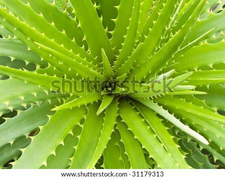 Top view of a wide open aloe vera plant. - stock photo