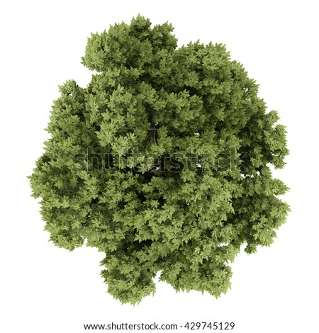 top view of austrian oak tree isolated on white background. 3d illustration - stock photo
