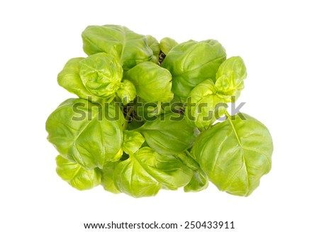 Top view of basil herb plant isolated on white background - stock photo