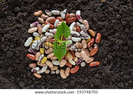 top view of bean seed germination in soil with some seeds - stock photo