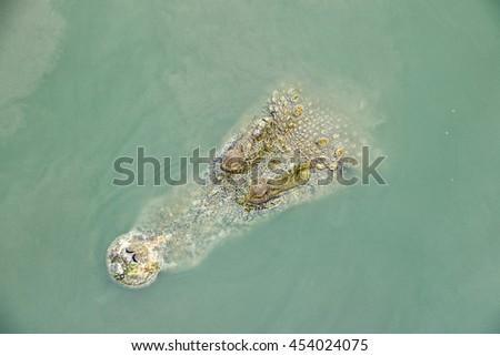 Top view of big crocodiles floating green water in a crocodiles farm,Dangerous alligator in wildlife  - stock photo