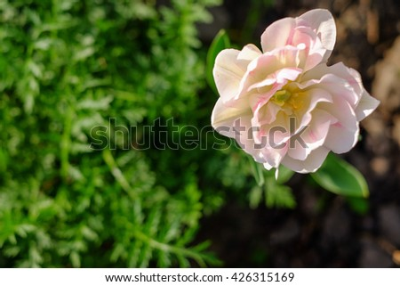 top view of bloom white-pink flower with blurry green grass on background - stock photo