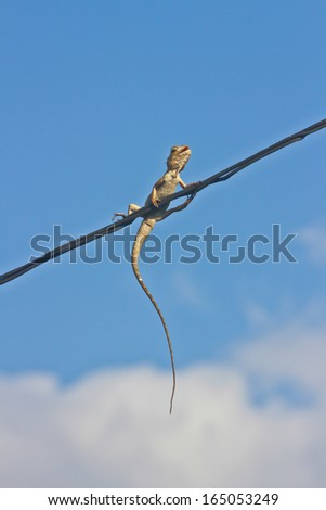 Top view of chameleon on cable line