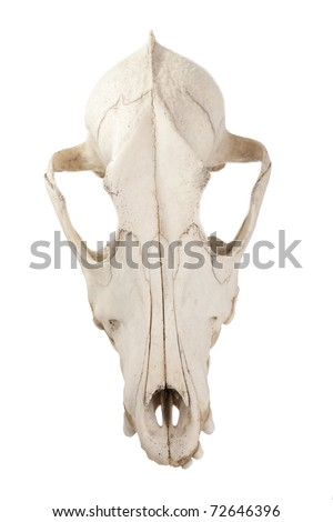 Top view of cutout of canine dog skull with jagged teeth - stock photo